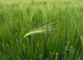 Dare to be different - wheat - barley ear against the wind — Stock Photo