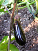 Egg plant — Stock Photo