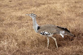 African Bird: Kori Bustard (Ardeotis kori) — Stock Photo