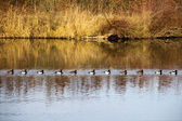 Tufted Ducks swim in a queue — Stock Photo