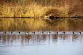 Tufted Ducks swim in a queue — Stock Photo