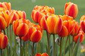 Pomarańczowo czerwone tulipany w wiosenny ogród — Zdjęcie stockowe