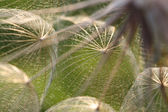 Extreme Macro of Dandelion Seeds in Backli — Stock Photo