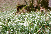 Spring snowflake in the forest (Leucojum vernum) — Stock Photo