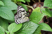 Tree Nymph, Paper Kite, Rice Paper Butterfly (Idea leuconoe) — Stock Photo