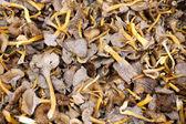 Mushroom Yellowfoot — Stock Photo