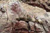 Sea Lions Ushuaia sleeping on Peruvian coast — Stock Photo