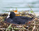 Eurasian coot (Fulica atra) broods in the nest — Stock Photo