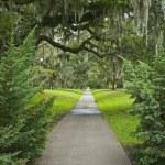 Giant Oak Pathway — Stock Photo