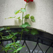 Rose in Window — Stock Photo