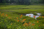 Tiger Lilies and Wetland — Stock Photo