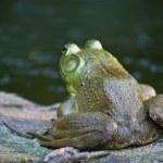 Bull Frog on Watch — Stock Photo