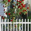Red Roses and Pickett Fence — Stock Photo #12375884
