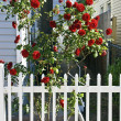 Red Roses and Pickett Fence — Stock Photo