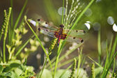 红蜻蜓 — 图库照片
