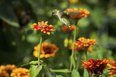 Hummingbird — Stock Photo