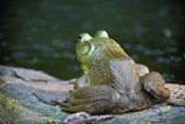 Bullfrog on Watch — Stock Photo