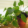 Stock Photo: Plant in Window