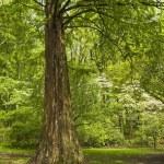 ������, ������: Spring Cypress Tree