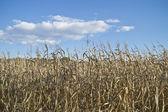 Campo seco del maíz — Foto de Stock