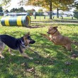 Stock Photo: Dog Park Play