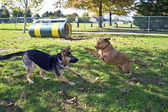 Dog Park Play — Stock Photo