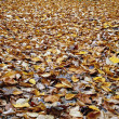 Fallen Leaves — Stock Photo