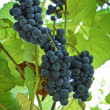 Grapes for Harvest — Stock Photo