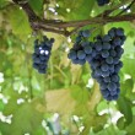 Grapes on Vine — Stock Photo #32475285