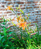 Tiger Lillies and Wall — Stock Photo