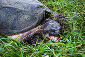 Awake Snapping Turtle — Stock Photo