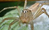 Lynx Spider — Stock Photo
