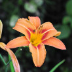An Orange Flower — Stock Photo