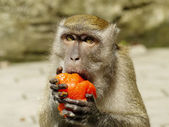 Portrait of a Monkey Eating Indian Pastry — Stock Photo