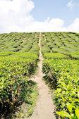Tea Plantations at Cameron Highlands, Pahang, Malaysia — Stock Photo
