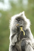 Portrait of a Silver Leaf Monkey — Stock Photo