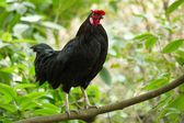 Portrait of a Rooster — Stock Photo