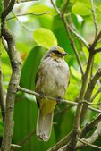 Bulbul Bird Resting on a Branch — Stock Photo