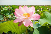 Valley of lotuses — Stock Photo
