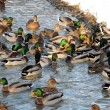 Ducks in water — Stock Photo #25330797
