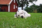 Puppy resting in the grass — Stock Photo