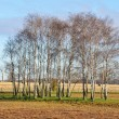 Birch om farmland — Stock Photo