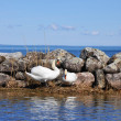 Swans nesting — Stock Photo