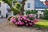 Rhododendron garden — Stock Photo