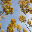 Stock Photo: Yellow birch trees