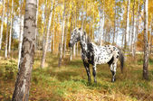 Horse with spots — Stock Photo