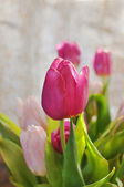 Tulip closeup — Stock Photo