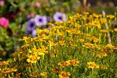 Needle Marigolds. — Stock Photo