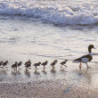 Stock Photo: Ducks at beach
