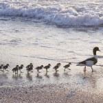 Ducks at beach — Stock Photo #12264785